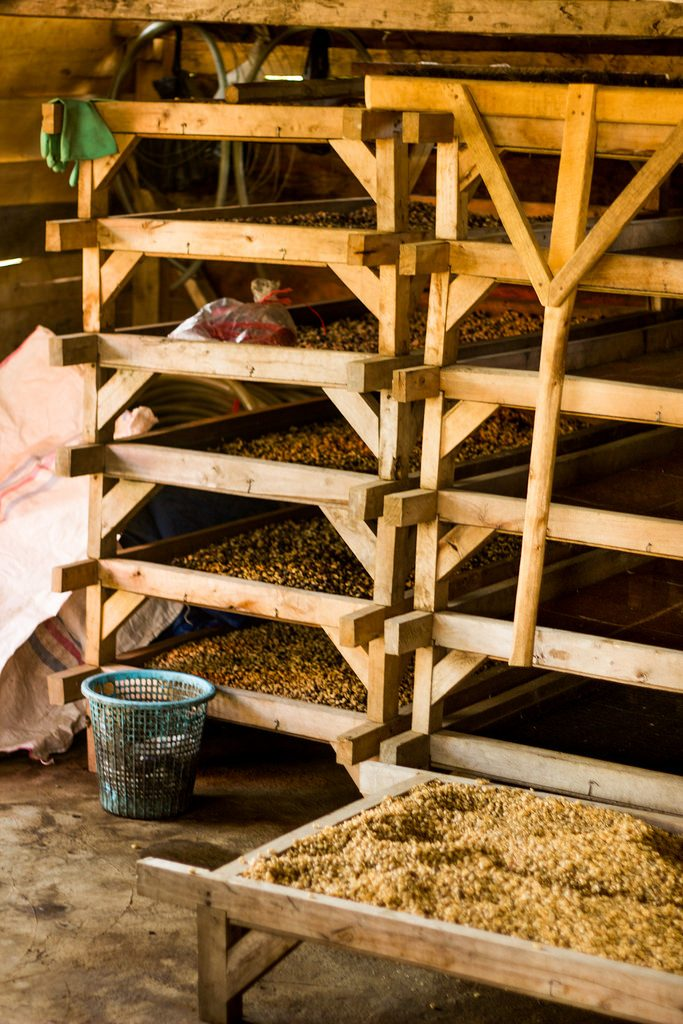 Coffee beans on drying racks